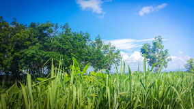 Cielo azul y bosque Imagen de archivo