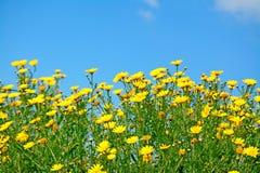 Cielo azul y flores amarillas foto de archivo