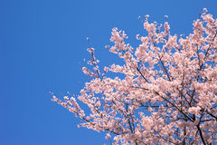 Cielo azul y flores de cerezo perfectos Foto de archivo