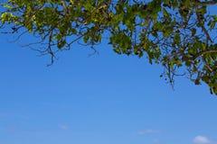 Cielo azul y hoja del árbol Imagenes de archivo