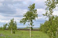 Cielo azul y nubes sobre prado joven del abedul Fotos de archivo libres de regalías
