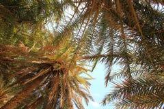 Cielo azul y palmeras altas imagenes de archivo