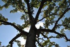 Cielo blu attraverso un albero di cedro fotografia stock libera da diritti