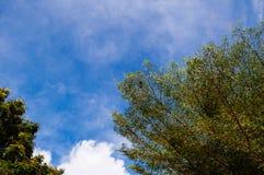 Cielo blu con il grande albero verde nel pomeriggio immagine stock