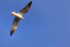 Cielo blu degli uccelli di volo (gabbiano di mare) ancora Fotografia Stock Libera da Diritti