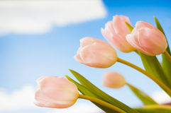 Cielo blu dei tulipani Fotografia Stock