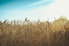 Cielo blu del anad dell'erba selvatica Immagine Stock Libera da Diritti