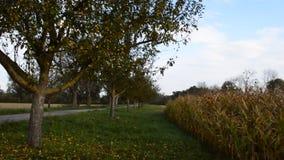 Cielo blu del campo di mais e giorno soleggiato archivi video