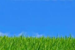 Cielo blu del giacimento del riso Fotografia Stock