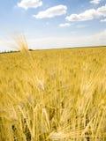 Cielo blu del giacimento di grano Fotografie Stock Libere da Diritti