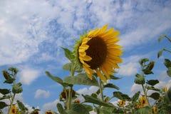 Cielo blu del girasole Fotografia Stock