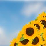 Cielo blu del ob dei girasoli dell'ansa fotografie stock libere da diritti