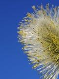 Cielo blu del salice purulento Fotografia Stock