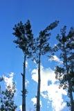 Cielo blu dell'albero Immagine Stock