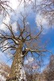 Cielo blu dell'albero Fotografie Stock Libere da Diritti