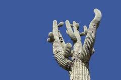 Cielo blu dell'albero del cactus del saguaro del deserto dell'Arizona Fotografia Stock