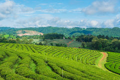Cielo blu dell'azienda agricola del tè Immagine Stock