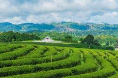 Cielo blu dell'azienda agricola del tè Immagine Stock Libera da Diritti