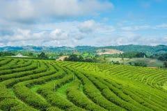 Cielo blu dell'azienda agricola del tè Fotografie Stock Libere da Diritti