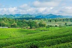 Cielo blu dell'azienda agricola del tè Fotografia Stock Libera da Diritti