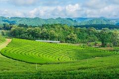 Cielo blu dell'azienda agricola del tè Fotografie Stock