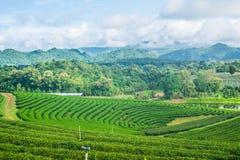 Cielo blu dell'azienda agricola del tè Immagini Stock Libere da Diritti