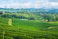 Cielo blu dell'azienda agricola del tè Immagini Stock