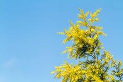 Cielo blu della foglia del pino Immagini Stock Libere da Diritti