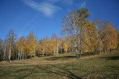 cielo blu della foresta di autunno Fotografie Stock