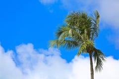 Cielo blu della noce di cocco Fotografia Stock