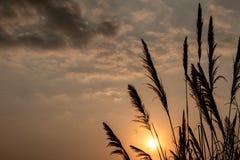 Cielo blu di alba, di bellezza del fiore della canna da zucchero e nuvole Immagini Stock Libere da Diritti