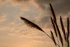 Cielo blu di alba, di bellezza del fiore della canna da zucchero e nuvole Fotografie Stock Libere da Diritti
