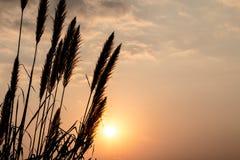 Cielo blu di alba, di bellezza del fiore della canna da zucchero e nuvole Fotografia Stock