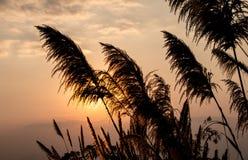 Cielo blu di alba, di bellezza del fiore della canna da zucchero e nuvole Fotografia Stock Libera da Diritti