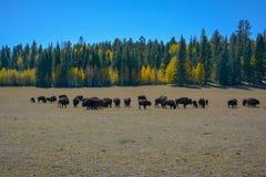 Cielo blu di ora legale degli alberi della sequoia di Lanscape fotografia stock