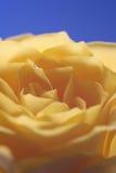 Cielo blu di rosa di colore giallo Fotografie Stock Libere da Diritti
