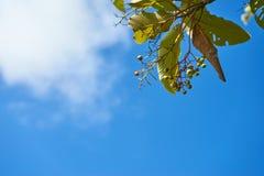 Cielo blu e piccola frutta con la foglia Fotografia Stock