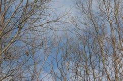 Cielo blu e rami nudi Fotografia Stock Libera da Diritti