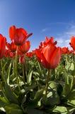 Cielo blu grandangolare dei tulipani rossi Immagini Stock Libere da Diritti