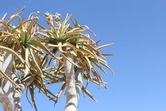 Cielo blu Namibia dell'albero del fremito dei dettagli Immagini Stock Libere da Diritti