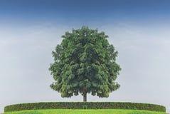 cielo blu solo stante del againt dell'albero Fotografia Stock