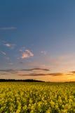 Cielo blu sopra il giacimento del seme di ravizzone con le piante gialle dopo il tramonto Immagine Stock