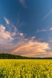 Cielo blu sopra il giacimento del seme di ravizzone con molte piante dopo il tramonto Immagine Stock