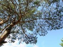 Cielo blu sui precedenti del pino fotografia stock