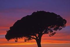 Cielo cambiante con el pino (pinus), Camargue, Francia Imagen de archivo libre de regalías