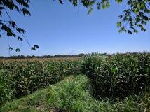 Cielo claro bajo campo de maíz foto de archivo libre de regalías