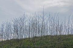 Cielo claro de la tarde de la primavera a través de arbustos desnudos Foto de archivo libre de regalías