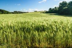 Cielo con las nubes sobre un campo de trigo Imágenes de archivo libres de regalías