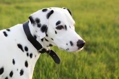 Cielo Dalmatian Immagini Stock Libere da Diritti