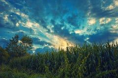 Cielo de la nube en campo de grano Fotos de archivo libres de regalías